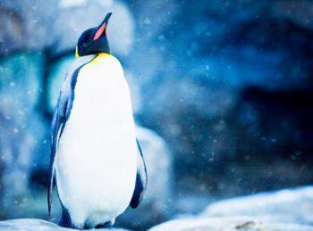 emperor penguin in snowy scene