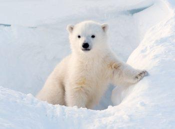 baby polar bear in the snow